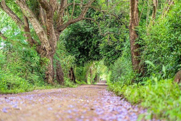 Le long chemin de la route à côté de grands arbres verts comme un tunnel d'arbres. tanzanie, afrique de l'est.