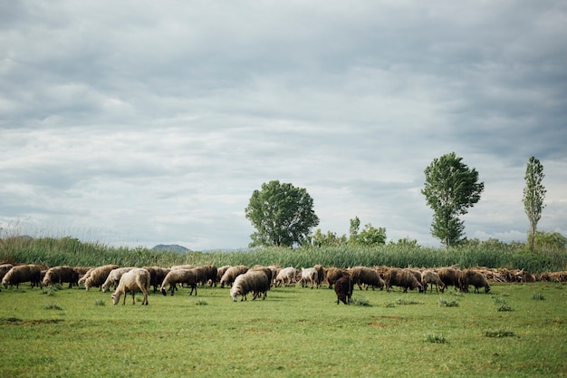 Long plan troupeau de moutons mangeant de l'herbe