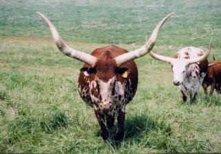 Longhorn, la vache