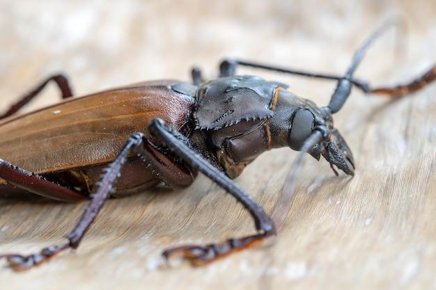 Longicorne géant fidjien de l'île de koh phangan, thaïlande. gros plan, macro. longicorne géant fidjien, xixuthrus heros est l'une des plus grandes espèces d'insectes vivants.grandes espèces de coléoptères tropicaux