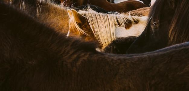 Longs et crinière de nombreux chevaux islandais ensemble.