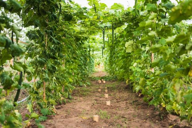 Longue ferme biologique de courgettes à la campagne