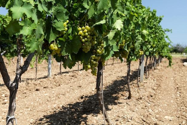 Longue rangée de vignes avec des raisins de croissance avant la récolte.