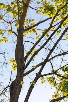 De longues branches et un tronc d'érable recouvert d'un jeune feuillage vert brillaient à travers la lumière du soleil