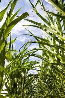 Longues rangées de pousses de maïs vertes au printemps ou en été. maïs dans le domaine agricole. les grains de maïs sont utilisés à la fois pour la cuisson des aliments