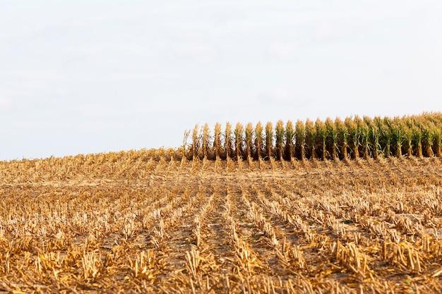 Longues rangées de pousses de maïs vertes