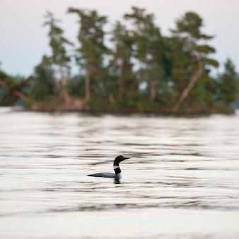 Loon sur l'eau du lac des bois, ontario