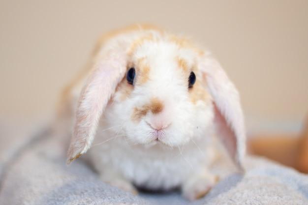 Lop ear petit lapin de couleur rouge et blanc