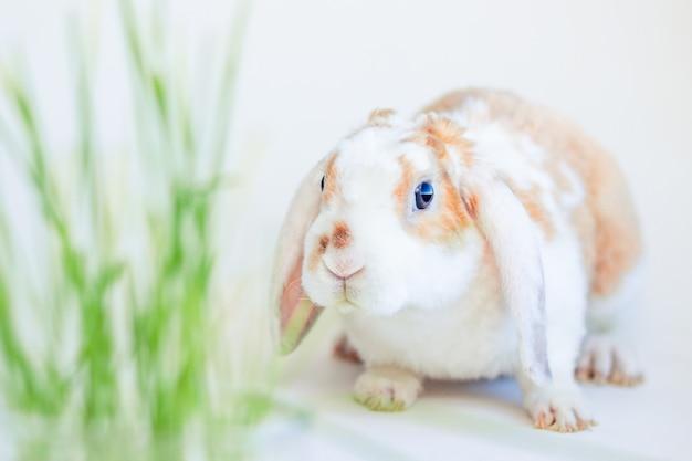 Lop oreille domestique petit lapin de couleur rouge et blanc mâchant de l'herbe verte
