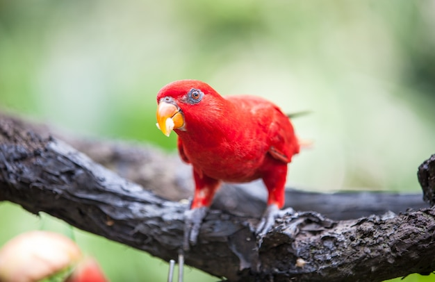 Lori rouge dans le parc