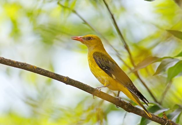 Loriot doré femelle près du nid.