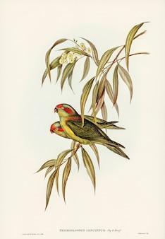 Loriquet nain (trichoglossus concinnus) illustré par elizabeth gould