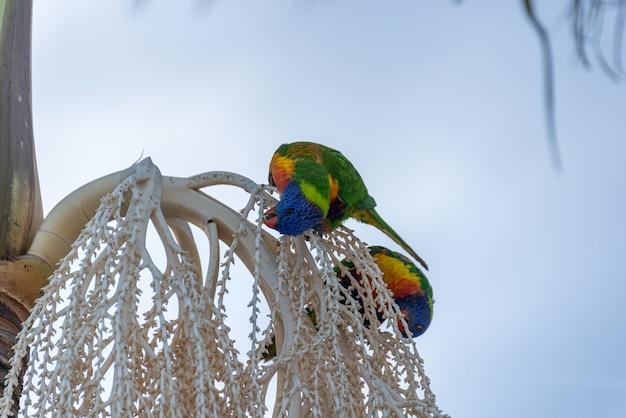 Loriquets arc-en-ciel se nourrissant de graines de palmier. loriquets australiens. concept animalier