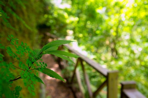 Los tilos laurisilva dans la forêt de lauriers de la palma