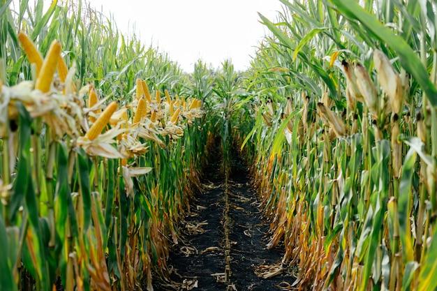 Lot jaune épis de maïs sur le terrain