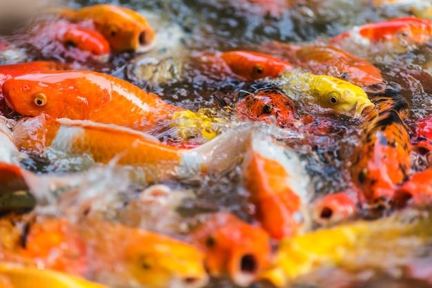 Lot de poissons rouges dans l'aquarium