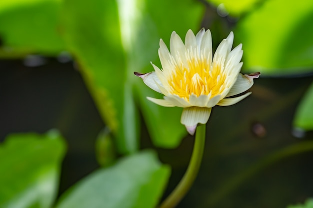 Lotus blanc dans le jardin de la maison