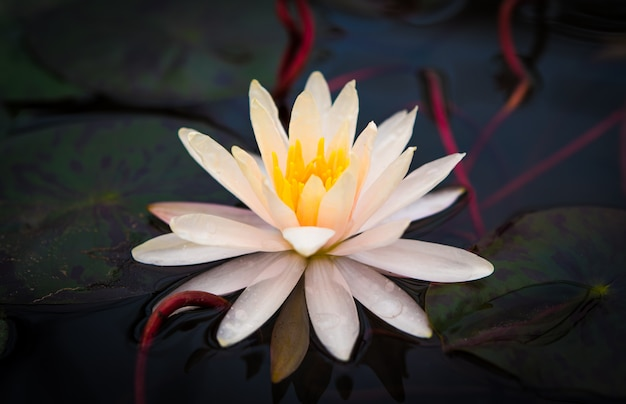 Lotus blanc dans la piscine