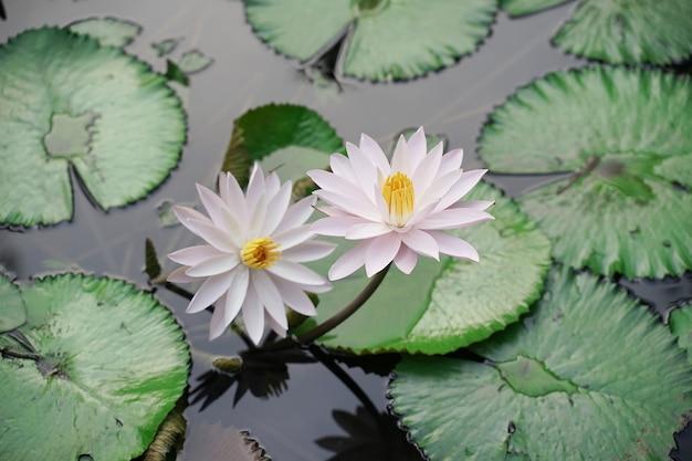 Lotus blanc frais avec pistil jaune sur piscine naturelle avec des feuilles vertes