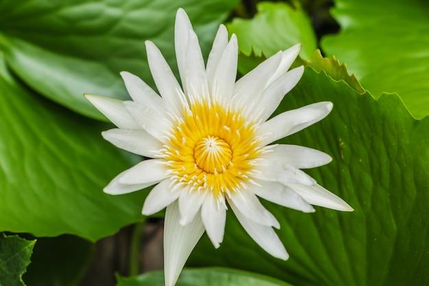 Lotus blanc ou nénuphar blanc dans un étang