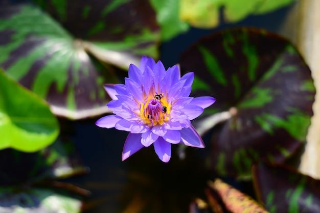 Lotus bleu nénuphar avec trois abeilles