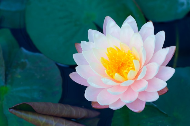 Lotus en étang couleur rose, belle nature calme