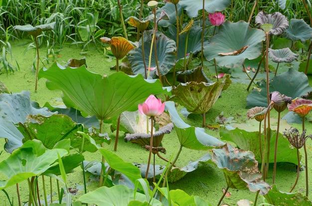 Lotus sur un fond.