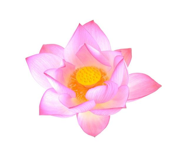 Lotus isolé sur blanc.