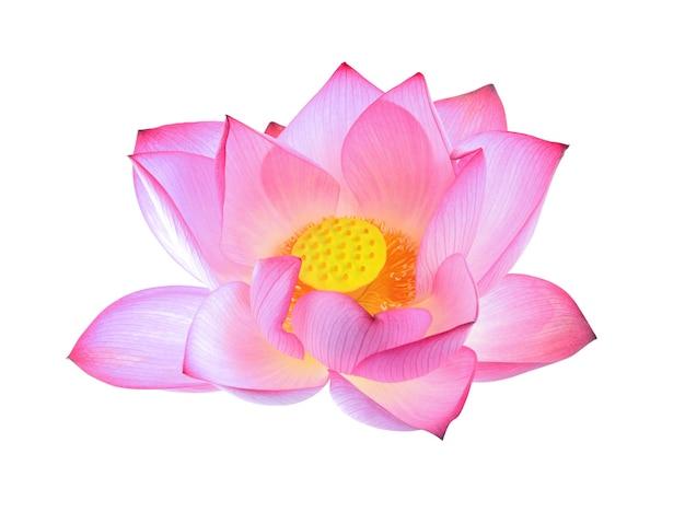 Lotus isolé sur fond blanc.