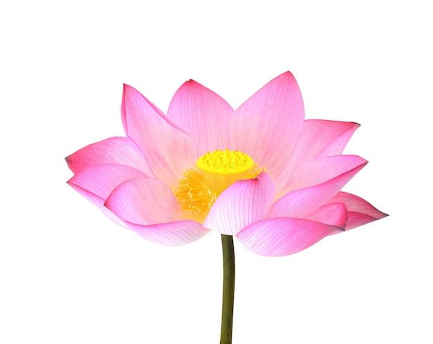 Lotus isolé sur fond blanc