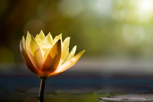 Lotus de mise au point sélective dans la nature avec espace de copie.