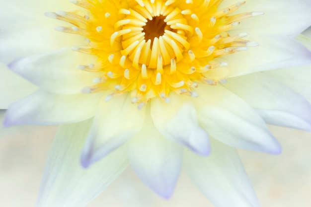 Lotus (nymphaea, waterlily) dans le jardin