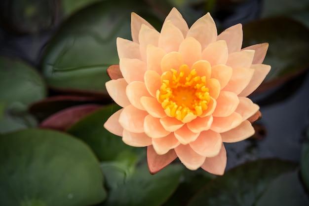 Lotus orange dans la piscine