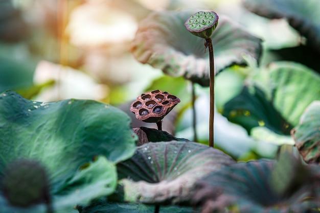 Lotus pod avec la lumière du matin