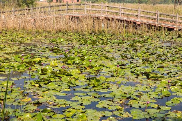 Lotus pond et pont de bois à lumbini, népal