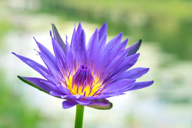 Lotus pourpre dans l'étang