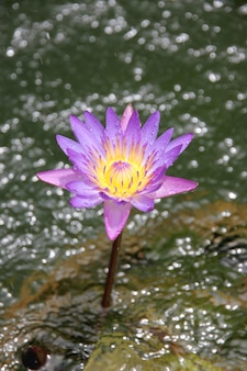 Lotus pourpre.