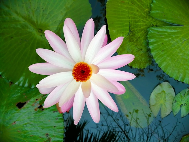 Lotus rose clair dans l'étang.