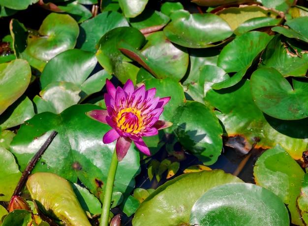 Lotus rose avec du pollen jaune dans des feuilles de lotus vertes flottant dans un étang flottant dans un étang