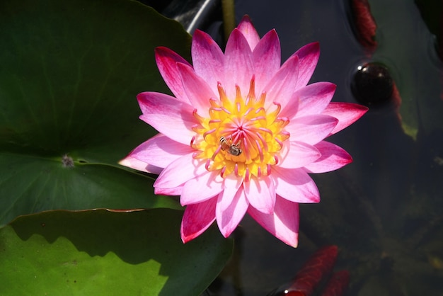 Lotus rose sur l'eau