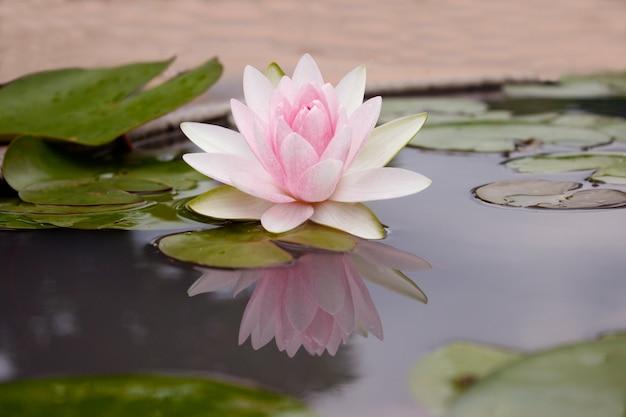 Lotus rose flot sur la rivière gardent