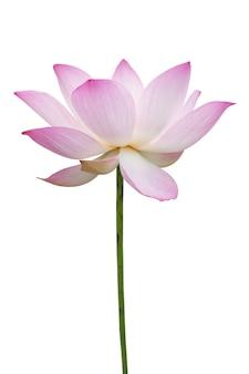 Lotus rose isolé sur blanc