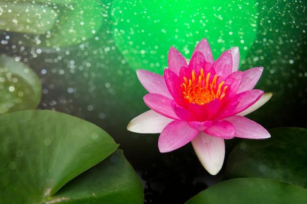 Lotus rose merveilleux, buachompoo, nénuphar.