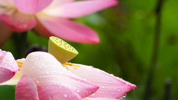 Lotus rose, nénuphar rose vif parfait dans un étang avec réflexion.