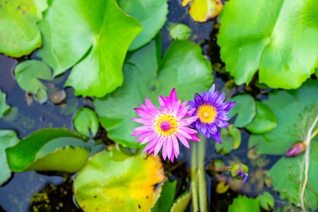 Le lotus rose pourpre qui pousse dans l'étang est magnifique le matin