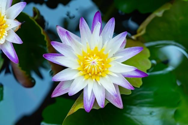 Lotus violet blanc dans le jardin de la maison