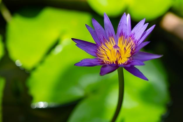 Lotus violet dans le jardin de la maison