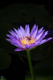 Lotus violet ou nénuphar violet dans un étang