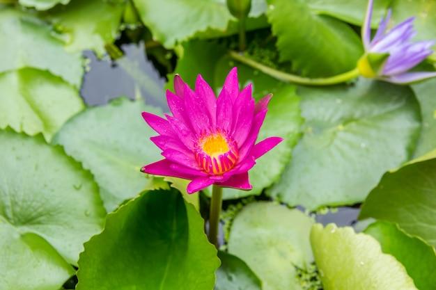 Lotus violet ou nénuphar violet dans un étang.