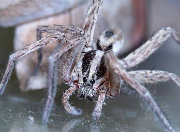 Loup araignée